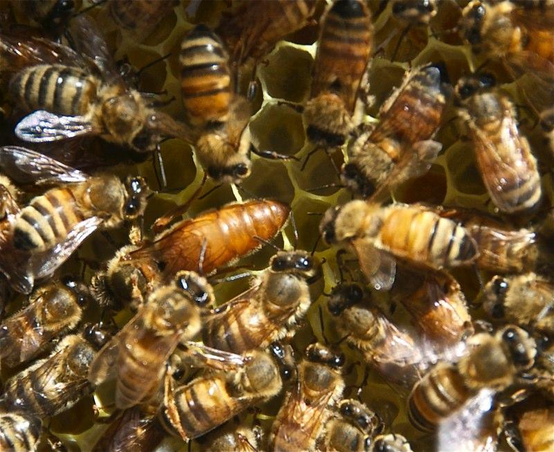 Queen bee with her attendants.