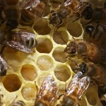 Nurse bees attending to larvae.