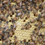 Brood and nurse bees.
