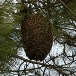 A healthy swarm.