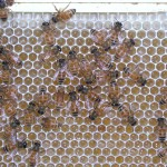 Curing honey