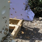 Two hives orienting