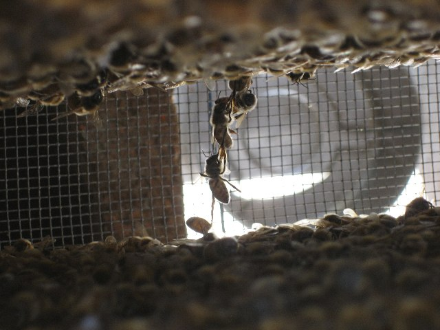 Chain of bees