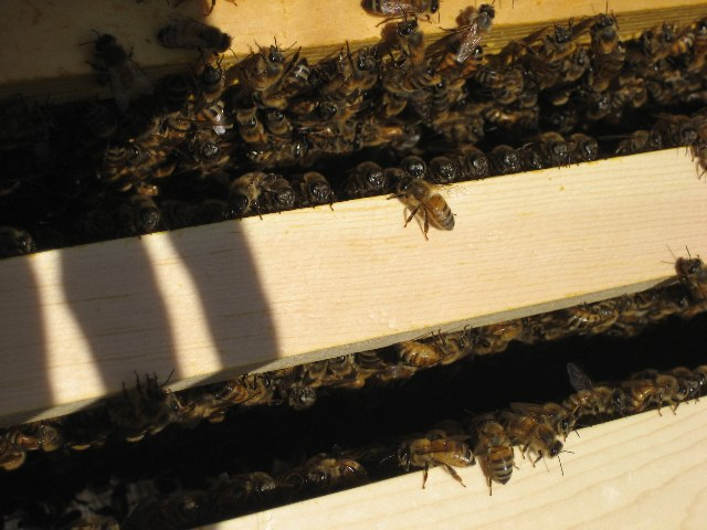Bees looking out from between the frames